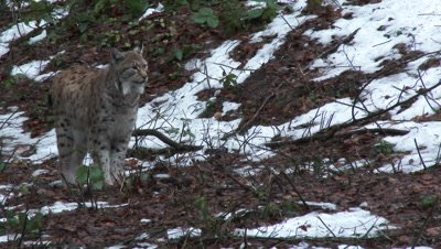 Eurasian lynx (lynx lynx) walking in winter forest