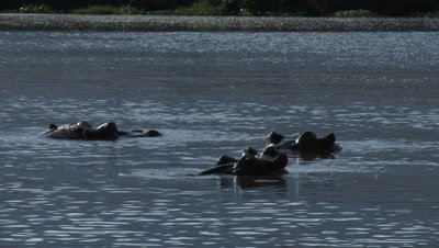 Hippopotamus together relaxing in water with heads just above waterlevel