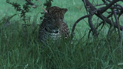 Leopard (Panthera pardus) searching and looking at something creeping in the grass