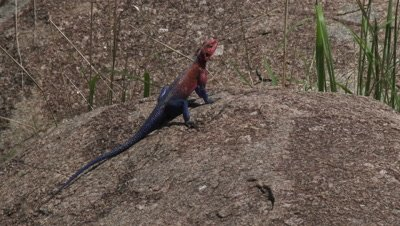 Mwanza flat-headed rock agama sunbathing on a rock