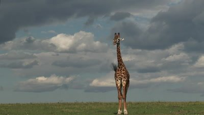 Giraffe (Giraffa camelopardalis tippelskirchi) standing on plains, chewing and flapping ears for chasing flies away