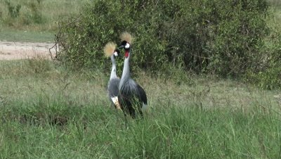 Grey Crowned Crane (Balearica regulorum) couple foraging together in reeds.