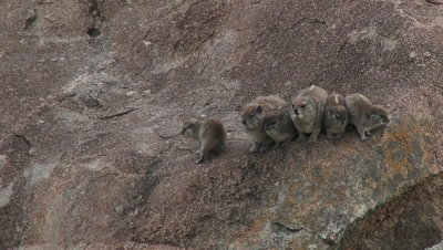 Rock Hyrax (Procavia capensis) group of adults and young huddled together on a rock, Serengeti National Park, Tanzania