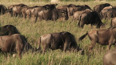 Wildebeests ( Connochaetes taurinus) grazing in morning light, on their annual migration.