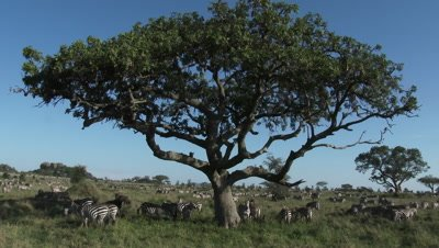 Wildebeest and Zebra's together on grassland under Sausage tree