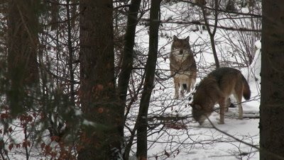 Gray wolf (Canis lupus) pair in winter forest, burrying food with his nose