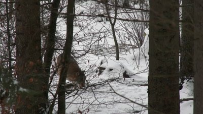 Gray wolf (Canis lupus) lone in winter forest, burrying food with his nose