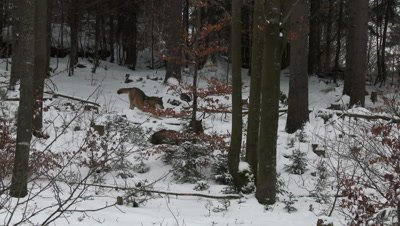 Gray wolf (Canis lupus) in winter forest, approaching others of the pack, stretching out.