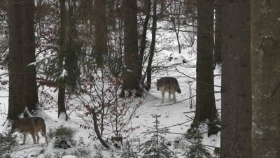 Gray wolf (Canis lupus) pair walking in winter forest