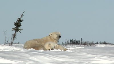 Polar Bear (Ursus maritimus) female with her three months old cubs, on Tundra denning Area.