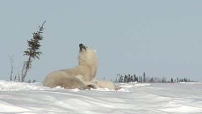 Polar Bear (Ursus maritimus) female with her three months old cubs, on Tundra denning Area, sniffing in the air