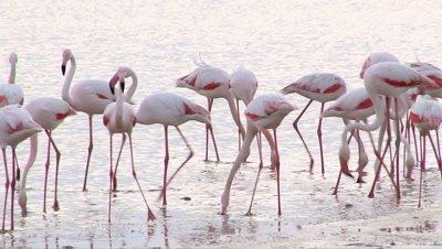 Greater Flamingo ( Phoenicopterus roseus) foraging in coastline.