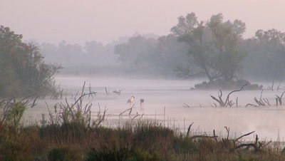 Greater Flamingo ( Phoenicopterus roseus) foraging in early morning mist in estuary