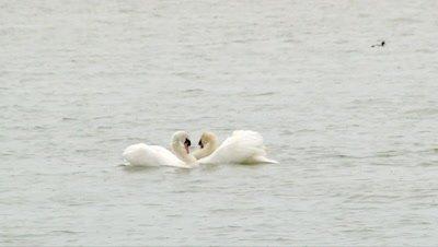 Mute Swan  (Cygnus olor) in courtship