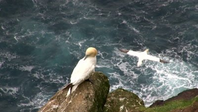 Gannet (Sula bassana) on cliff above Ocean, cleaning feathers.