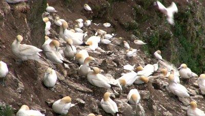Gannet (Sula bassana) colony nesting on cliff