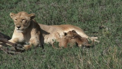 Lionesses (Panthera leo) and her two cubs suckling around a just killed Wildebeest