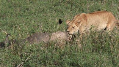 Lionesses (Panthera leo) puling at a just killed Wildebeest