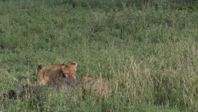 Lion (Panthera leo) cubs around a just killed Wildebeest