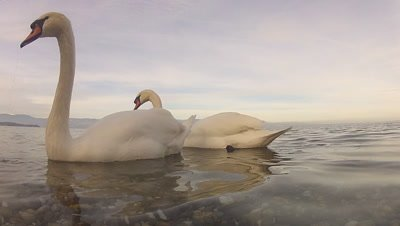 Mute Swan (Cygnus olor) in water with soft evening light