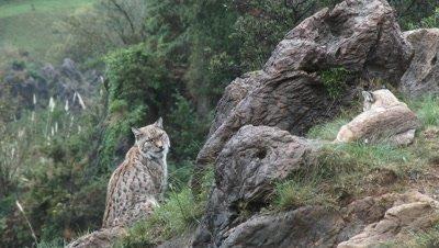 Eurasian lynx (lynx lynx) pair among rocks