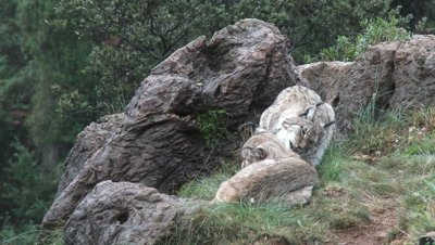 Eurasian Lynx ( Lynx lynx) pair among rocks licking each other