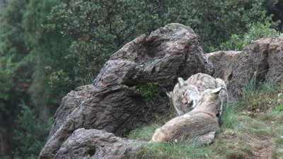 Eurasian Lynx ( Lynx lynx) pair among rocks licking each other