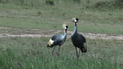 Grey Crowned Crane (Balearica regulorum) pair foraging together.