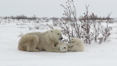 Polar Bear (Ursus maritimus) mother, eating snow, with her three months old cubs, playing between her paws