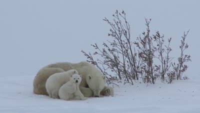 Polar Bear (Ursus maritimus) mother with her three months old cubs.