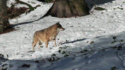 Lone Gray wolf (Canis lupus) pack in winter forest