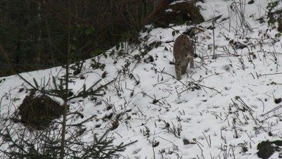 Eurasian lynx (lynx lynx) in winter forest