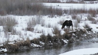 Moose (Alces alces) cow walking along snow-covered riverbed eating on twigs.