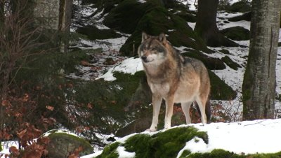 Lone Gray wolf (Canis lupus) in winter forest, standing on a rock looking cautiously around