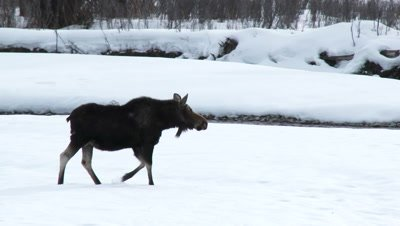 Moose (Alces alces) cow walking in snowcovered riverbed in search for the others