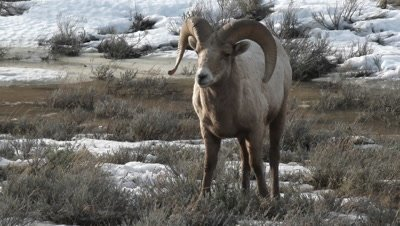Bighorn sheep (Ovis canadensis)ram  between snowcovered sage bushes