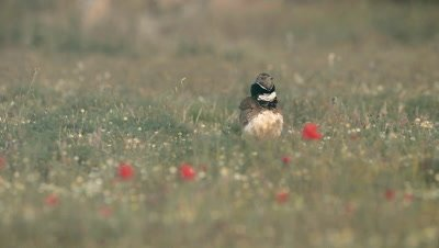 Little Bustard (Tetrax tetrax) displaying in wild flower field