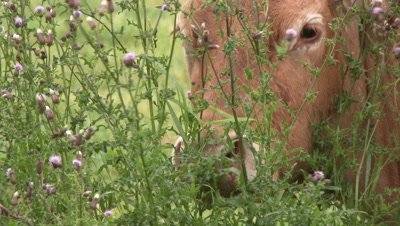 Cow eating from thistle with purple flowers, close-up.