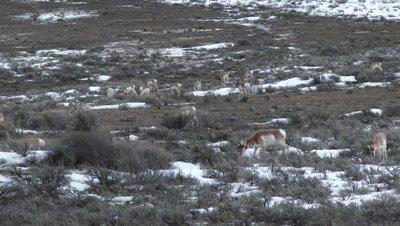 Pronghorn (Antilocapra americana) antelopes grazing