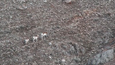 Pronghorn (Antilocapra americana) antelopes walking up the mountain