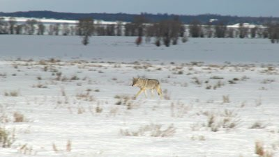Coyote (Canis latrans) scavenging across snow-covered field.