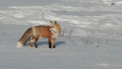Red Fox (Vulpes vulpes) walking around carefully in snow
