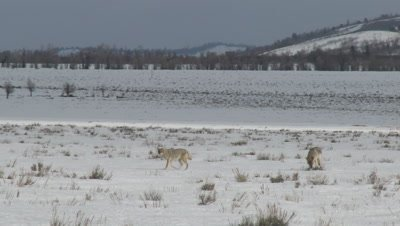 Coyote (Canis latrans) couple walking across snow-covered field, towards camera, one starts digging in the snow.