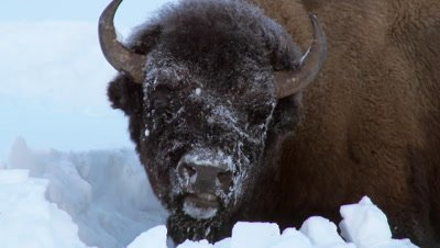 American Bison Portrait with Snowcovered Face