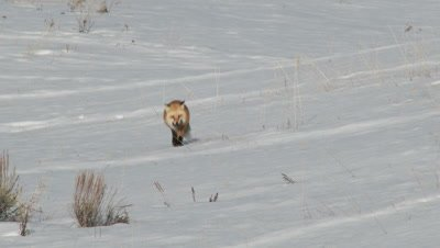 Red Fox, Vulpes vulpes, walking around carefully in snow, with a just caught prey in mouth