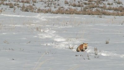 Red Fox, Vulpes vulpes, walking around carefully in snow, with a just caught prey in mouth,  looking for hiding place