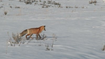 Red Fox, Vulpes vulpes, pinpoints a Lemming deep beneath the snow, using his sensitive hearing and the magnetic field of the North Pole to plot his prey