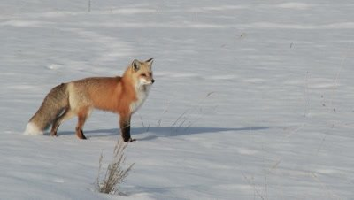 Red Fox, Vulpes vulpes, walking around carefully in snow, listening for prey underneath the snow.