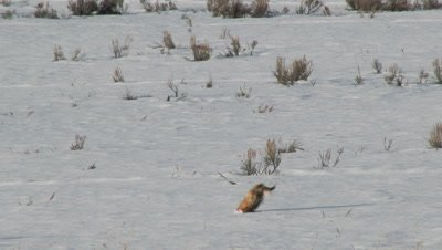 Red Fox, Vulpes vulpes, pinpoints a Lemming deep beneath the snow, using his sensitive hearing and the magnetic field of the North Pole to plot his prey, catching and eating his prey