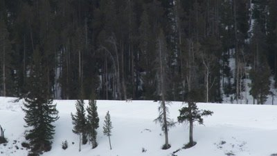 Gray wolf (Canis lupus) in winter forest walking over a snow covered field